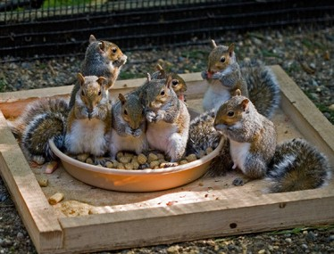 544-Eastern-Gray-Squirrels-eating-in-EGSQ1-cage-092811-KM.jpg